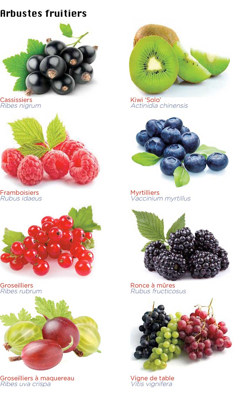 Arbustes fruitiers en pleine terre et en conteneur