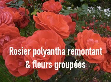 Rosier polyantha remontant et fleurs groupées