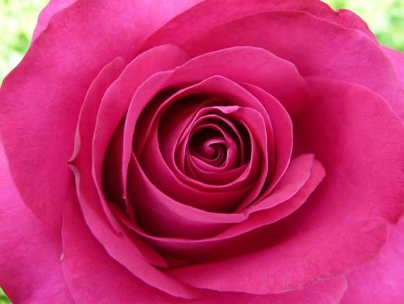 Baptême de la Rose 'Angéline'