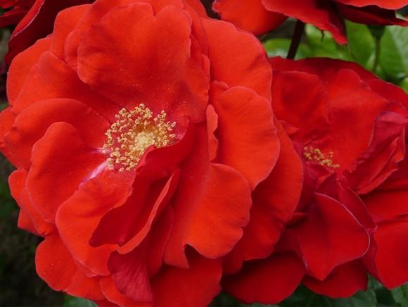 L'envol d'un Rose nommée Floradiane