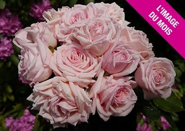 Rose Jubilé du Puy