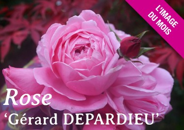Rose Gérard Depardieu