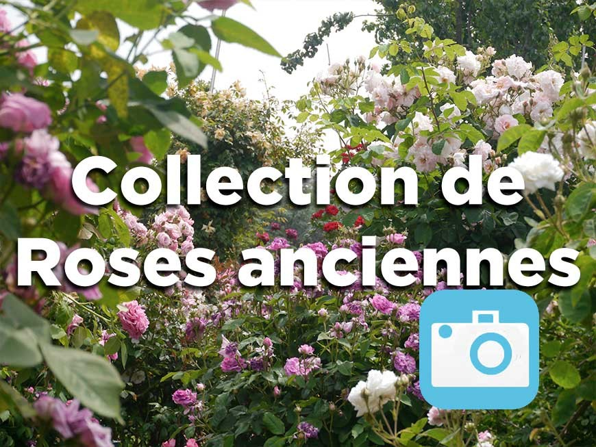 collection-roses-anciennes